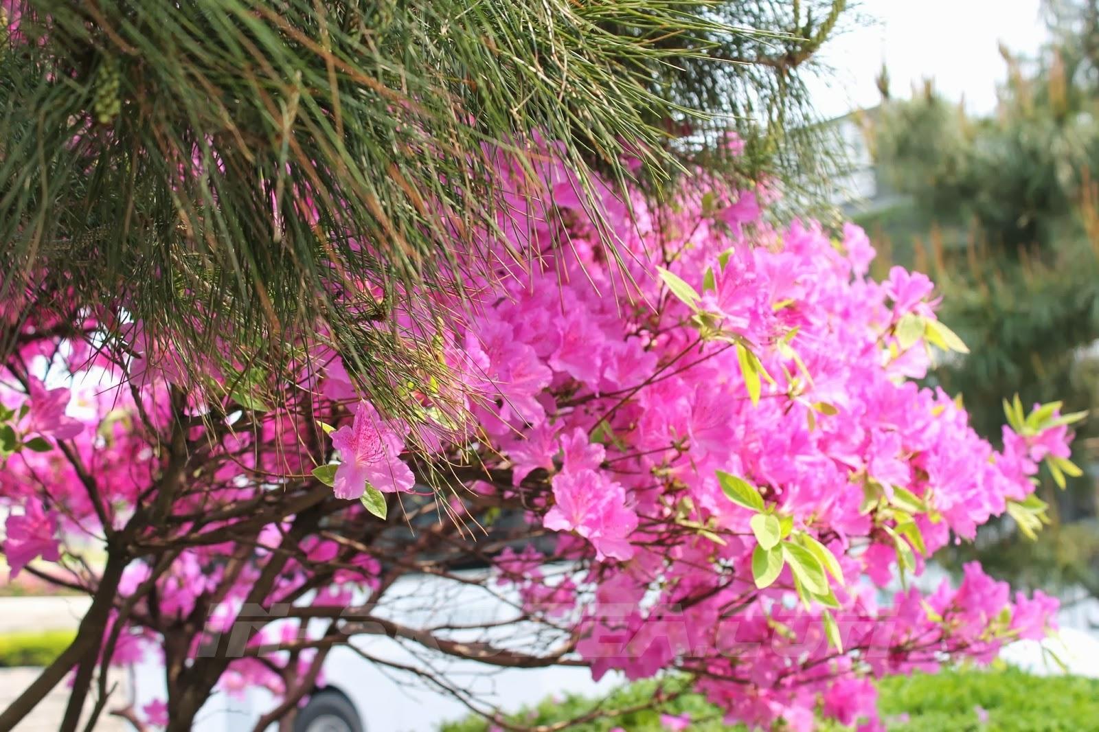 национальный цветок кореи