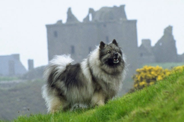 rules of the jungle keeshond puppies