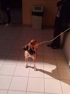 Βρέθηκε σήμερα το μεσημέρι 13/11 αυτό το σκυλάκι στην Πατησίων κ Κοδρικτώνος χωρίς λουρί, να περιφέρεται φοβισμένο ανάμεσα στα αυτοκίνητα.