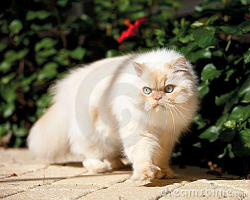 free funny photoS: himalayan cat