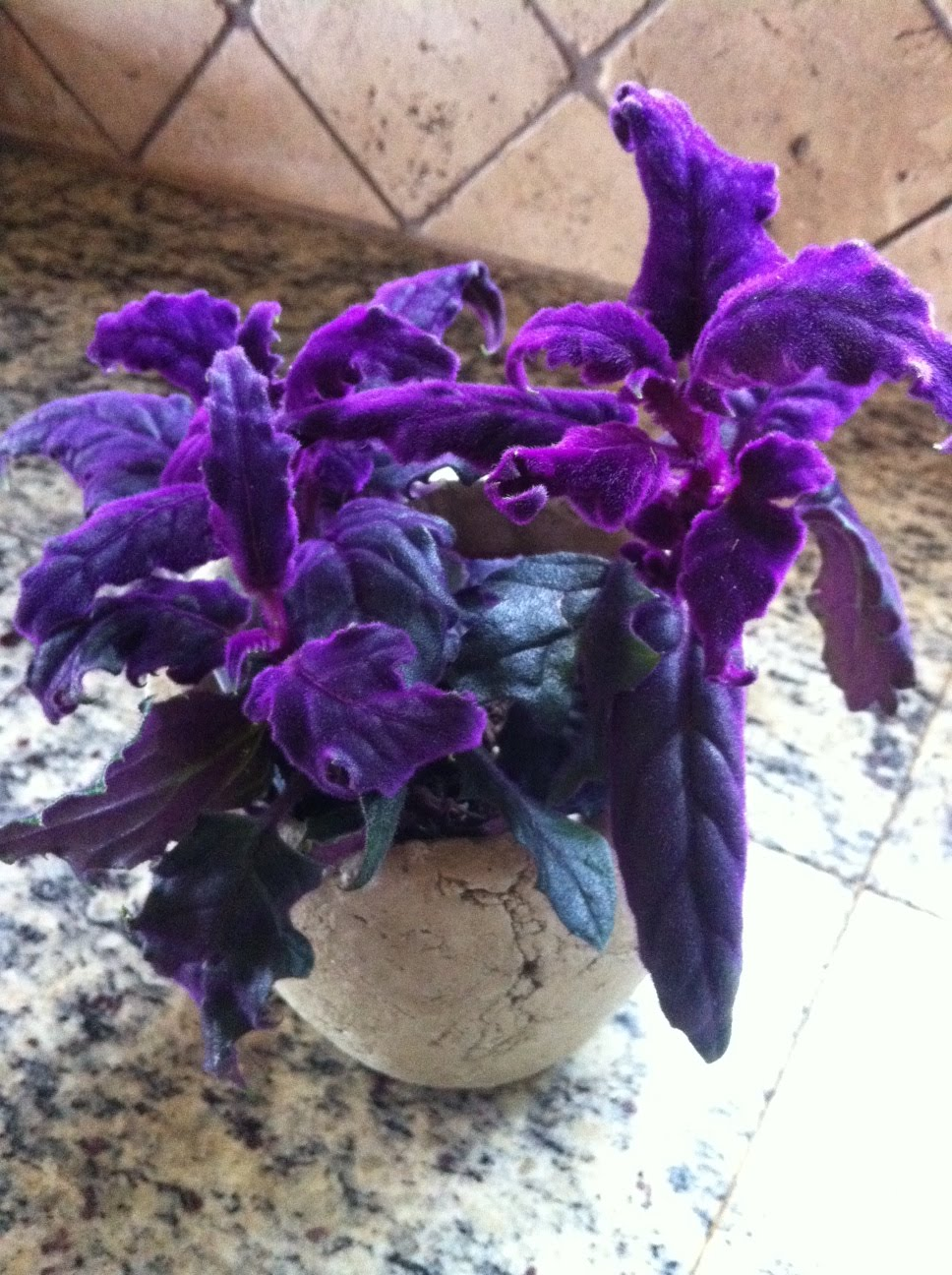House Plant With Purple On Leaves