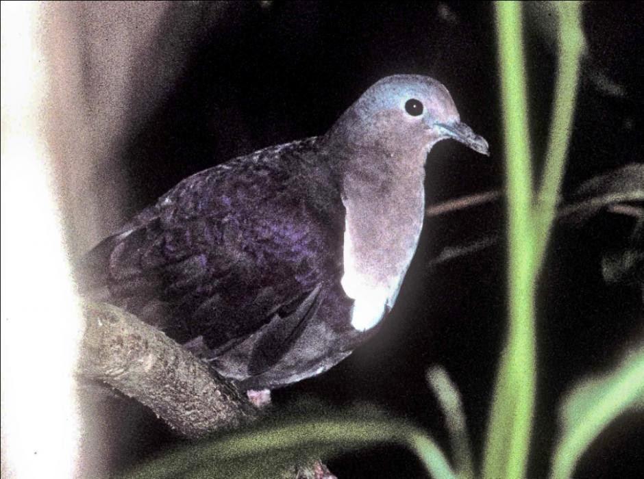 paloma perdiz de las Fiyi Gallicolumba stairi