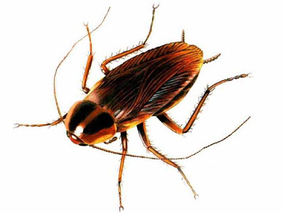 Bahaya Membunuh Kecoa Bagi Kesehatan Anda