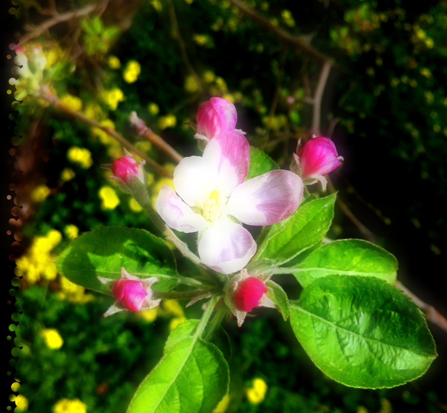Cotton flower what is this fruit then this really pretty flower started to bloom it was dark pink when its closed then became white when it bloomed i dont have a cherry tree in this mightylinksfo