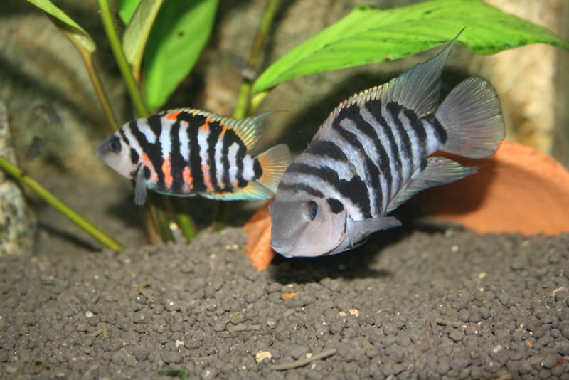 These cichlids should eat nearly everything offered including flakes ...