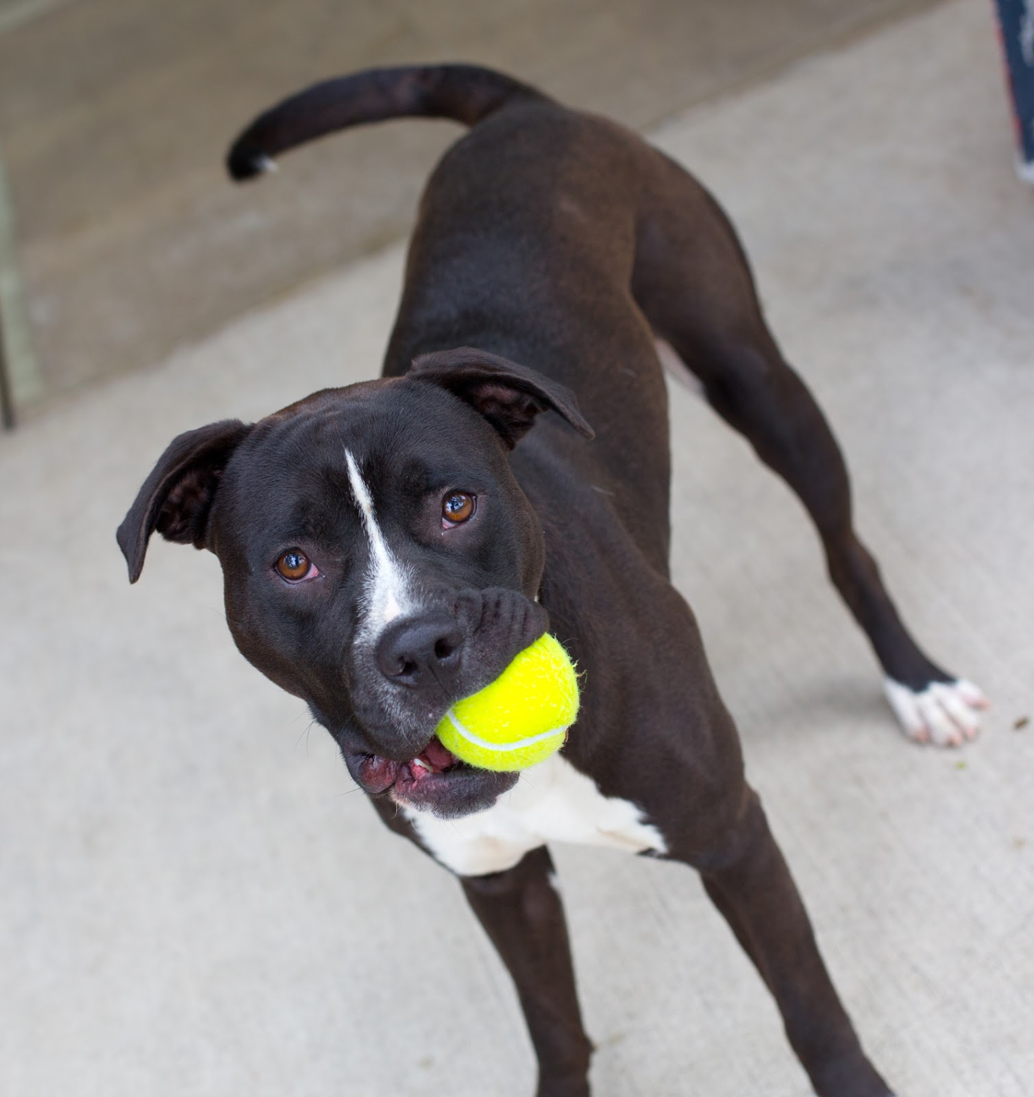 Shelter Dogs Of Portland Twin And Gym 10 Month Old Pitbull