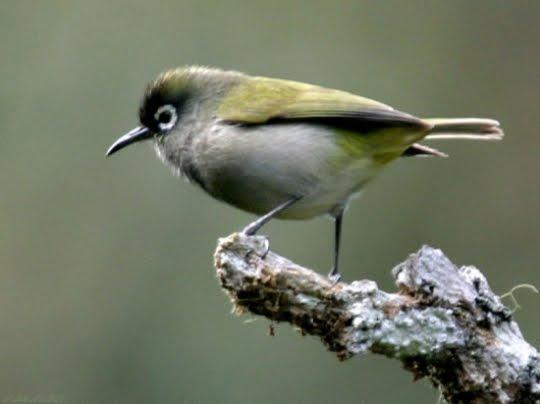 Oiseau Lunette Vert