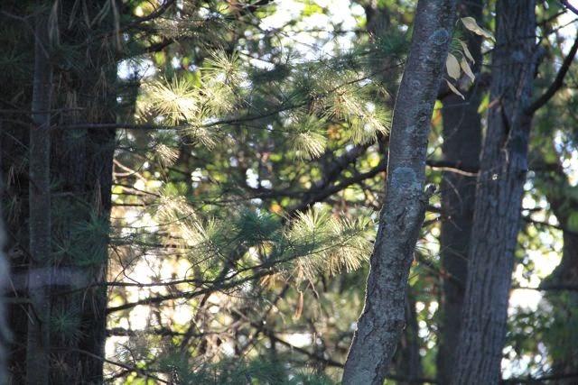 sunshine through pines, longer days ahead