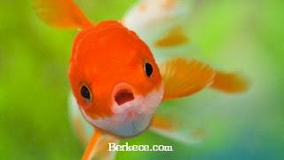 Ikan Hias Air Tawar Terpopuler