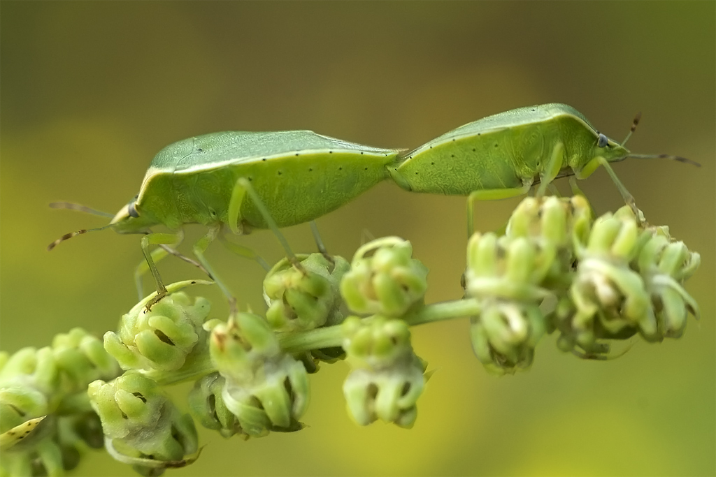 Para ampliar Nezara viridula (Linnaeus, 1758)  Chinche verde, hedionda, cópula hacer clic