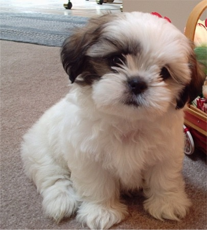 World: Shih Tzu Small Breed Dogs Pictures