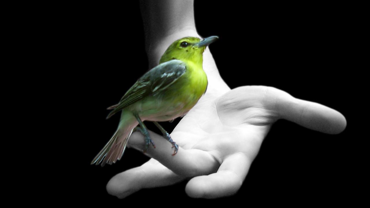 Foto Burung Kutilang