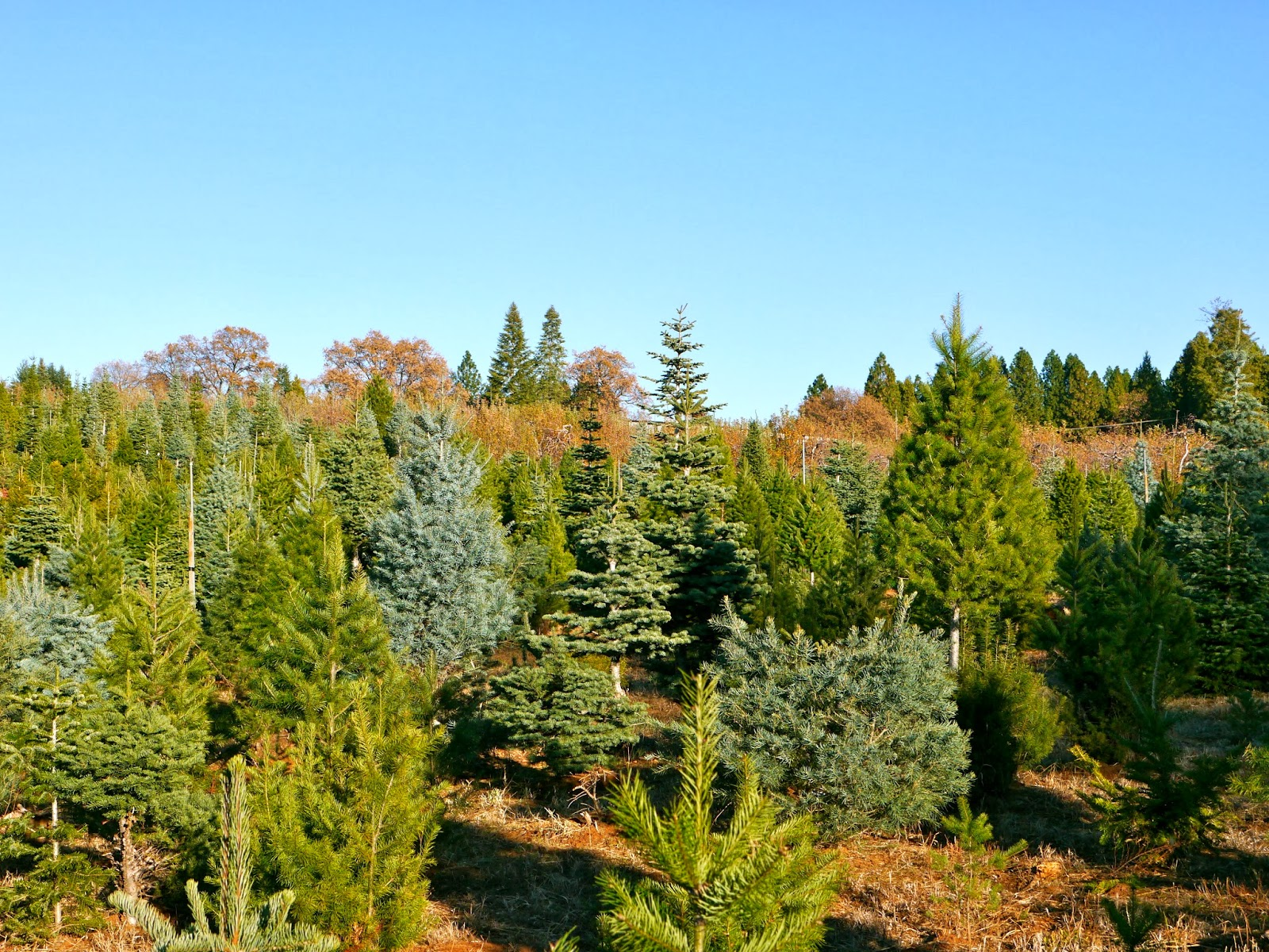 for the upcoming christmas season apple hill also has several christmas tree farms and though we did not get a tree till elsewhere later in the evening