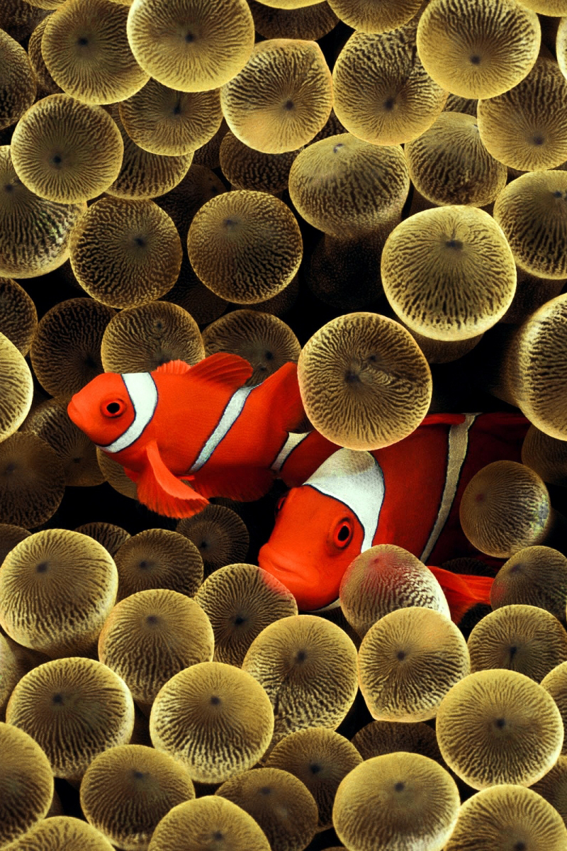 Android Phones Wallpapers: Android Wallpaper Clownfish