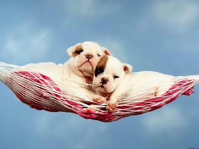 imagem de cachorro - filhote de buldogue