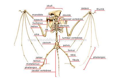 Tulang Kerangka Kelelawar Terbesar (Bat Skeleton)