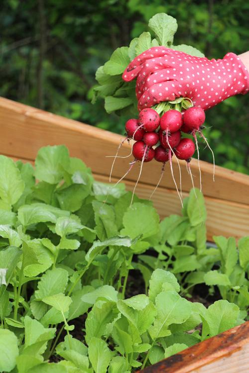 Hochbeet Gardening Gärtnern Garten Radieschen Radieschen-Dip Rezept