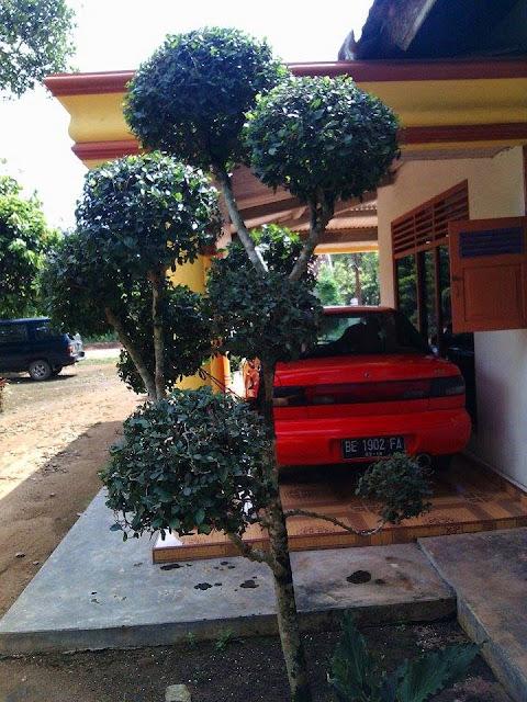pohon hias