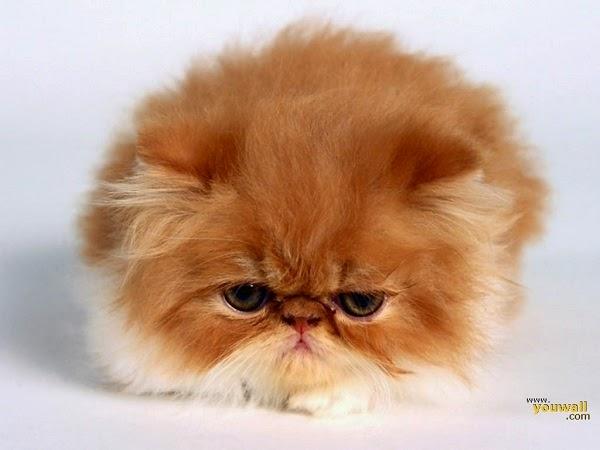 Photo chats trop mignons roux sur un fond blanc