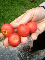 tomato Kampong Pudak in Kota Batu Brunei
