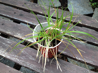 Carex vulpinoidea (Brown fox sedge)