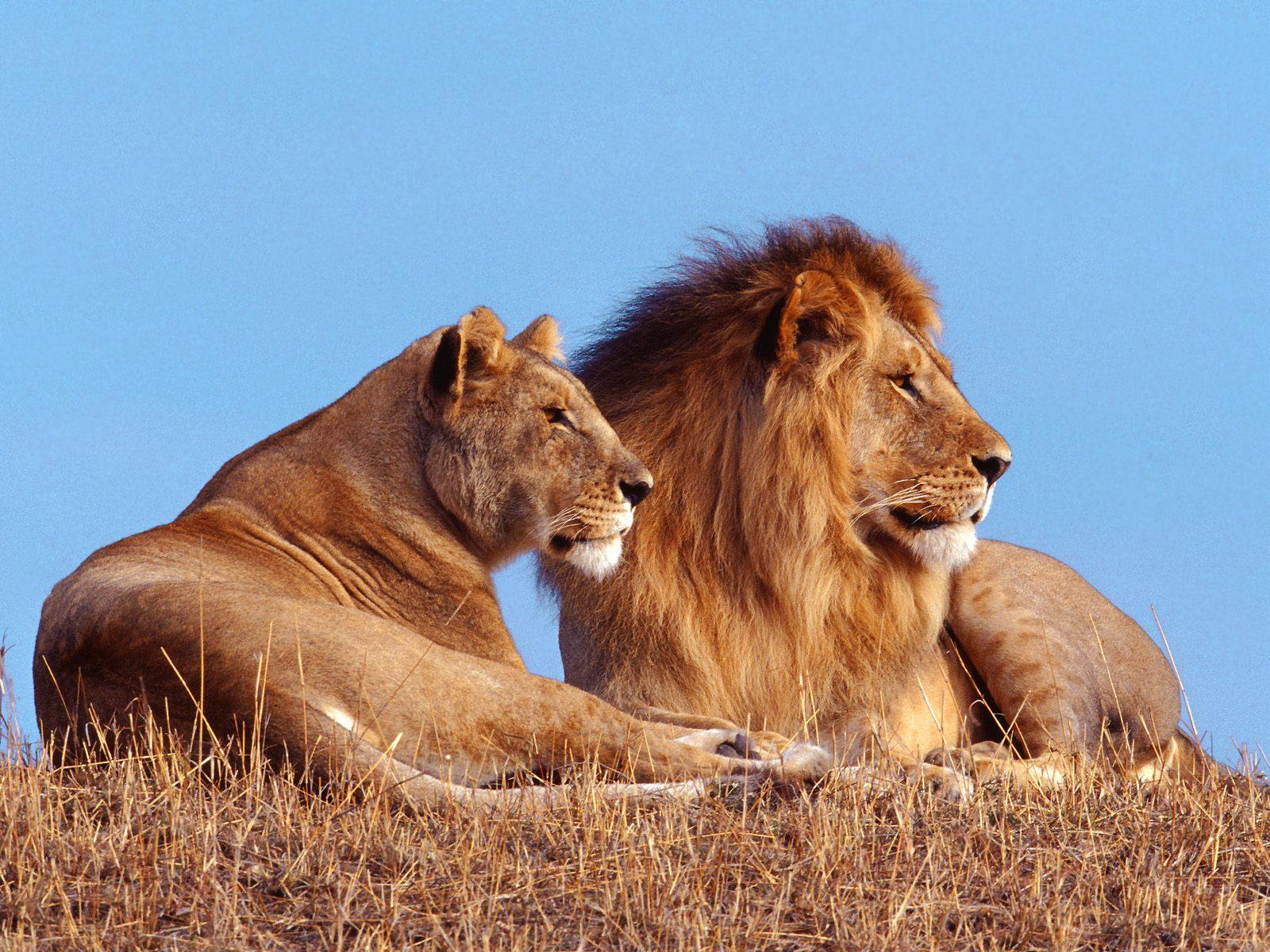 Best Wallpaper Collection: Best Lion HD Wallpapers