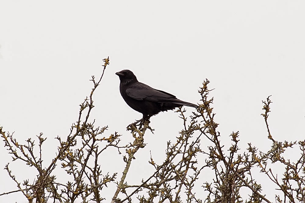 Carrion Crow, Lodge Lake, Milton Keynes