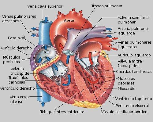 SEMINARIO INTERDISCIPLINARIO GRUPO 2016-2: Anatomía del Corazón ...