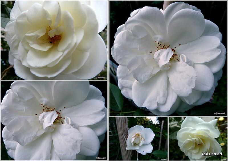 lunas garten rosen vielfalt einige meiner rosen. Black Bedroom Furniture Sets. Home Design Ideas