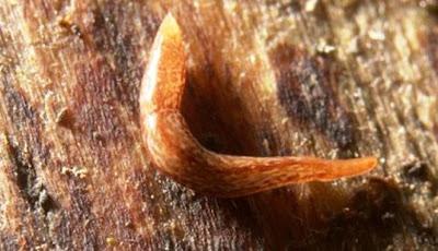 Ilmuwan Ungkap Spesies Cacing Bermata 60 [ www.BlogApaAja.com ]