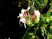 Detall de les fulles i flors d'un exemplar de xuclamel o lligabosc