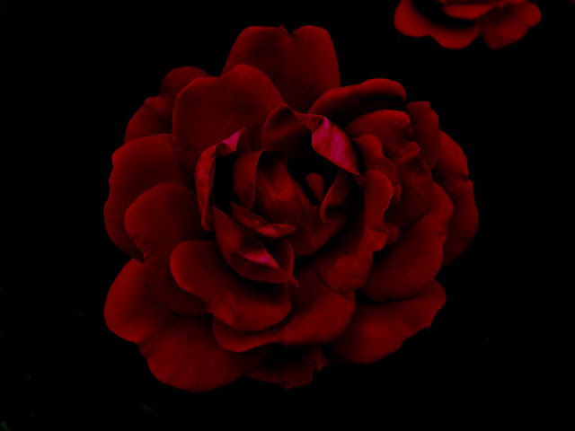 A Frontyard Rose