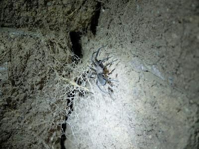 Kukulcania arizonica at night