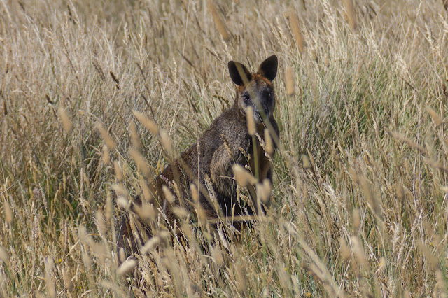 wallaby behind long grass