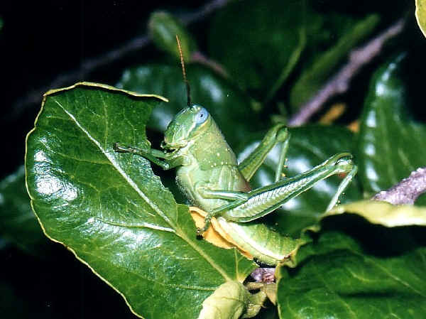 Different Grasshoppers Seen On www.coolpicturegallery.us
