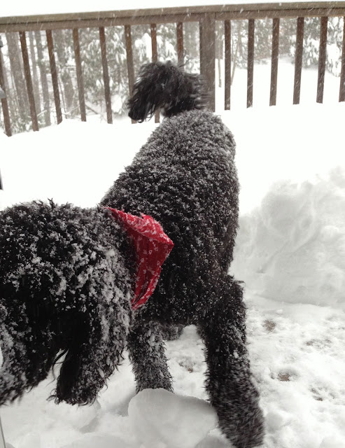 Labradoodle loves to play i the snow