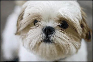 Coco Bunches - The Most Beautiful Dog in the World: Coco ...