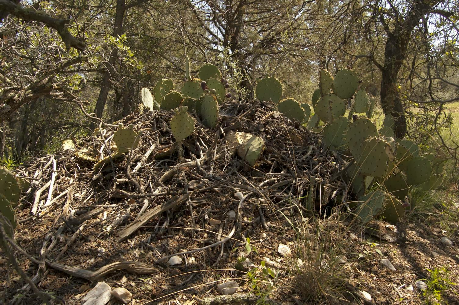 New Mexico Rodent to Live in New Mexico's