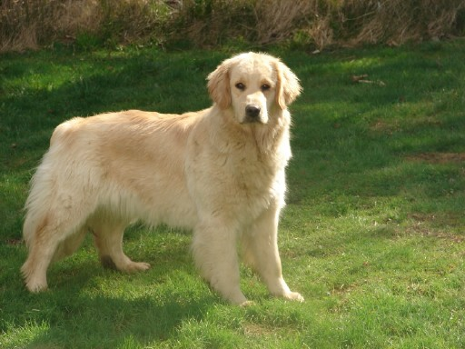 golden retriever dog photos. golden retriever dog images.