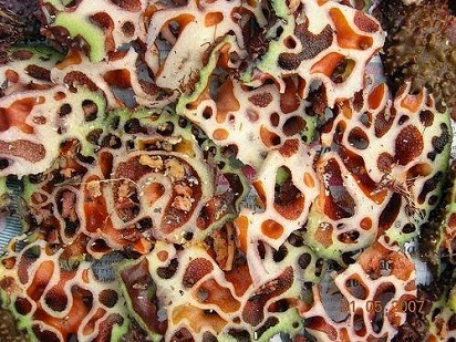 manfaat sarang semut untuk diabetes,sarang semut jepang,sarang semut dari papua,sarang semut papua asli,semut kalimantan,obat sarang semut,harga sarang semut,harga sarang semut papua,