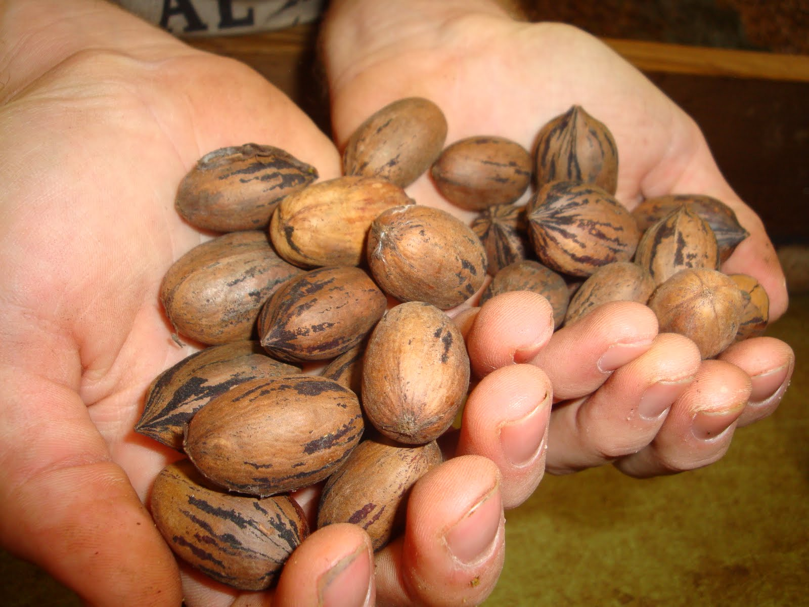 Temperate Climate Permaculture: Permaculture Plants: Pecans and Hickory