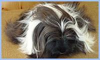 Hamster com pêlos longos