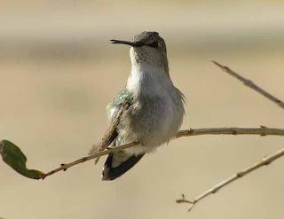 Foto Burung Kolibri Berkicau