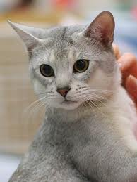 Silver Abyssinian Cat - Cat Pictures - YouTube