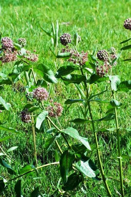 Showy Milkweed, Asclepias speciosa_7542