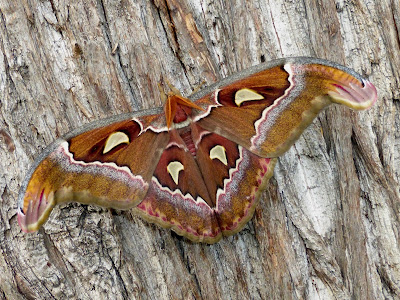 Attacus suparmani male