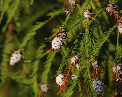 Baldcypress (Taxodium distichum)