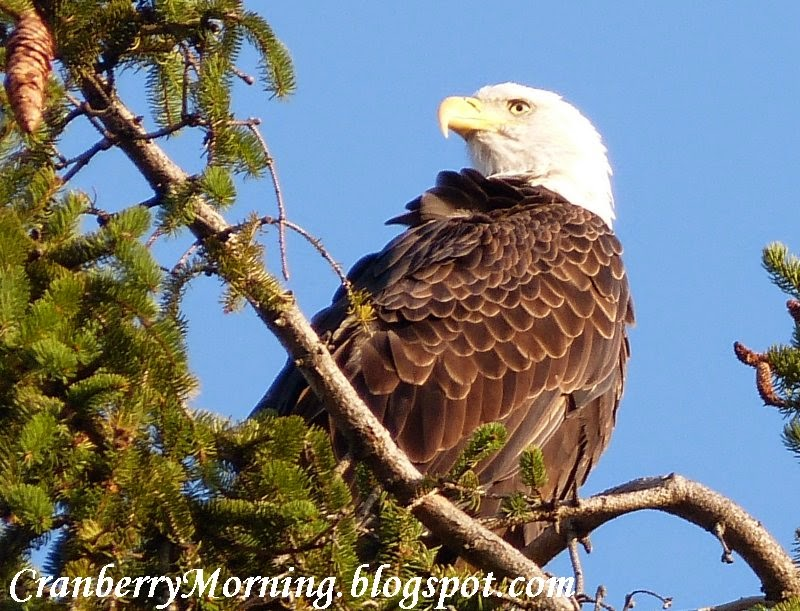 Cranberry Morning: The Eagle Has Landed - Again (Update on Sound)