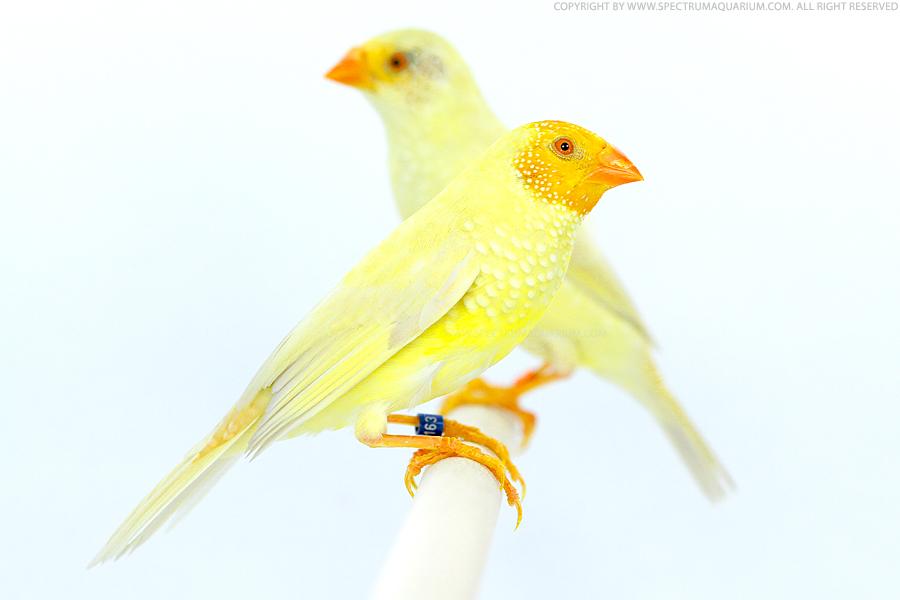 Yellow star finch - photo#8