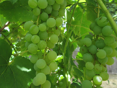 White table grapes on vine